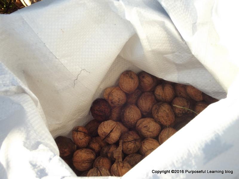 Walnut Day 10