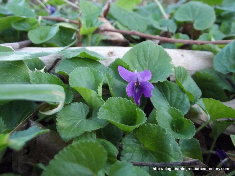 Violet 01