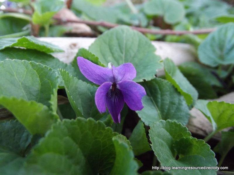 Violet 02