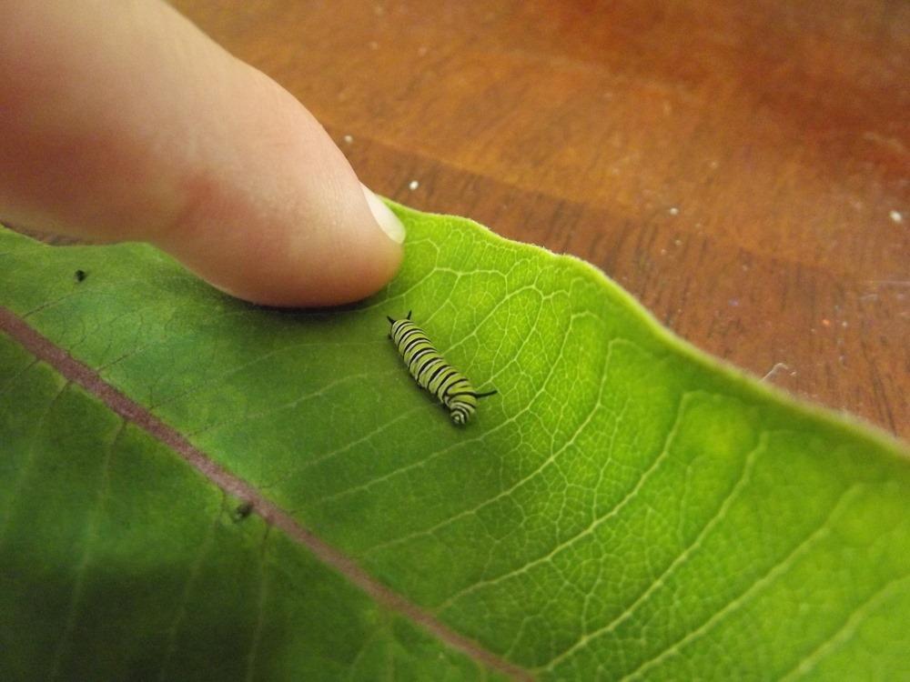 Caterpillars 03