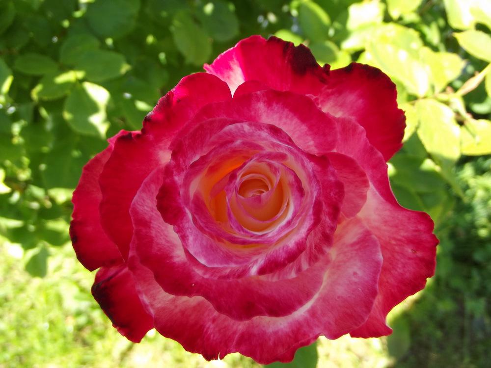 Rose Propagation 02