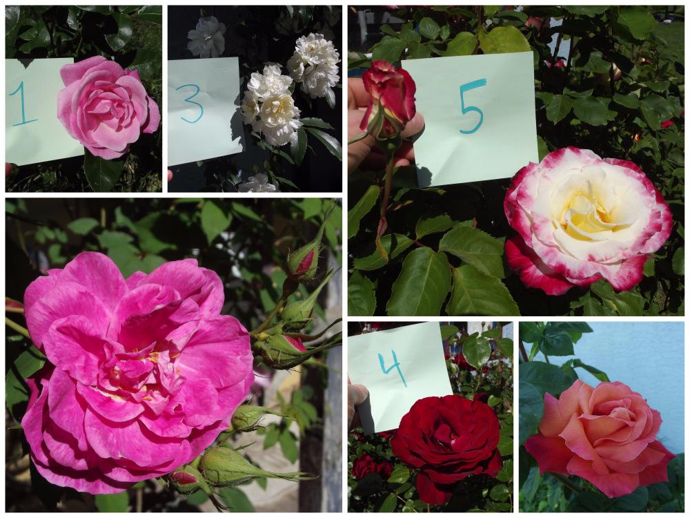 Rose Propagation 01
